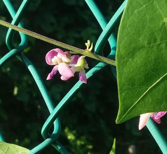 P. polystachios flower